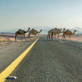 Camel on the street by Joey Soriano - Animals Other Mammals ( #travel, #camel #desert #animals #crossing #landscape )