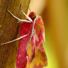 pink by Kim White - Novices Only Macro ( butterfly, pinkmoth, macro, nature, upclose, wildlife, pink, insect, pretty, moth, animal )