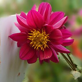 by Swati Nairi - Flowers Single Flower (  )