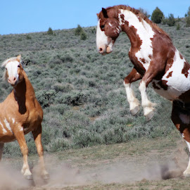 Leg to Stand On by Kathy Tellechea - Animals Horses ( wild, stallions, fight, horse, pintos, steens )