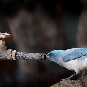 Good to the Last Drop by Mike Trahan - Animals Birds ( bird, nature, mexican jay, arizona )