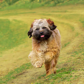 Tibetan Running by Jenny Trigg - Animals - Dogs Running ( dog woods, running dog, dog photography, tibetan terrier )