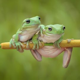 Best friends by Ais Setiawan - Animals Amphibians ( frog, tree frog, amphibian, frogs, animal )