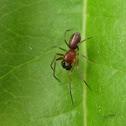 Mesh Web Weaver, male