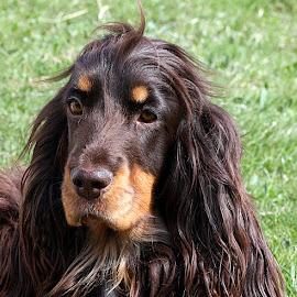 Pretty Girl Coco by Chrissie Barrow - Animals - Dogs Portraits ( grass, spaniel, green, pet, ears, fur, brown, dog, nose, tan, portrait, eyes )