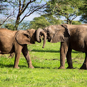 Wrestling Elephants by Tom Howes - Animals Other Mammals ( elephant, tanzania )