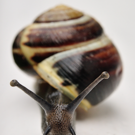 Lipped Snail by Nick Jackson - Animals Other ( snail )