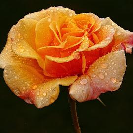 L'épanouissemment by Gérard CHATENET - Flowers Single Flower