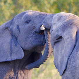 Elephant Kiss by Sean de la Harpe-Parker - Animals Other Mammals ( nature, elephant, south africa, play, wildlife, kruger )