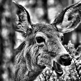 Laughing Deer by Don Mann - Black & White Animals (  )