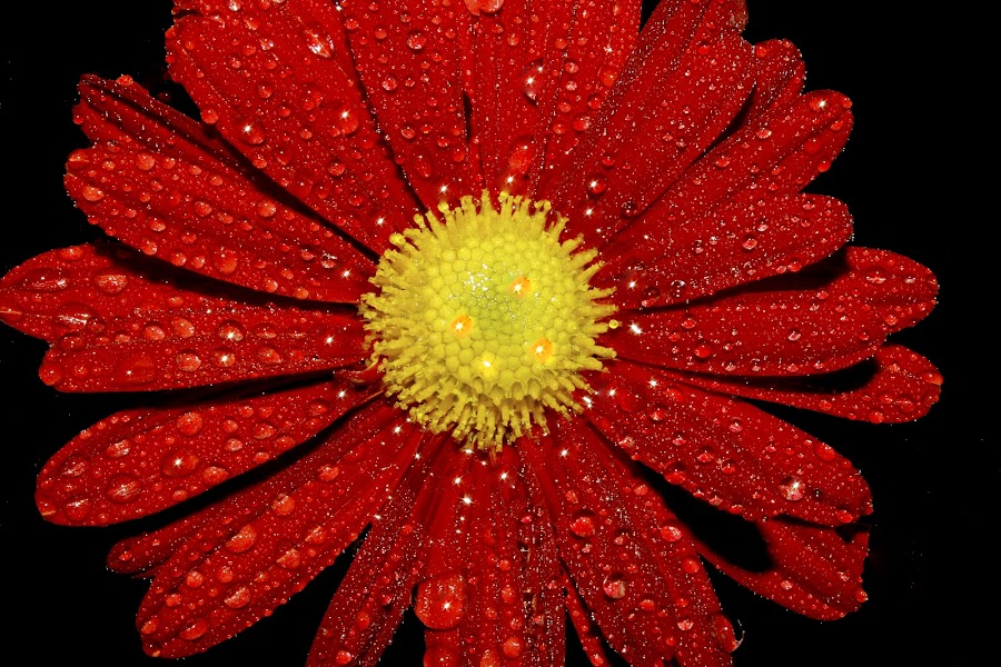 jst a flower by Anand Kumar - Nature Up Close Flowers - 2011-2013 ( water, water drops, red, nature, petals, drops, star, dew drops, close up, closeup, flower )