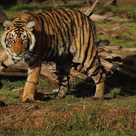by Arpan Bhattacharya - Animals Lions, Tigers & Big Cats