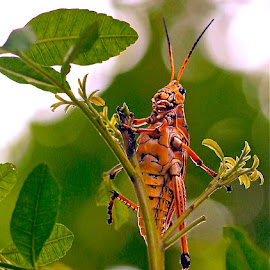 { Leaf Eater } by Jeffrey Lee - Animals Insects & Spiders ( florida grasshoppers, grass hoppers,  )