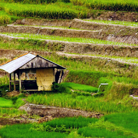 by Kamera Gokil - Landscapes Prairies, Meadows & Fields ( paddy field, shack, green grass )