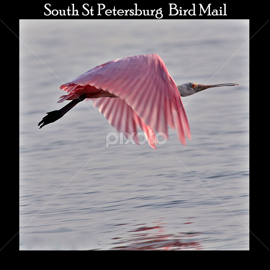 { Spoon Bill in flight ~ One of Bird Mail Stamps }  by Jeffrey Lee - Typography Captioned Photos ( spoon bill in flight ~ one series of bird mail stamps },  )