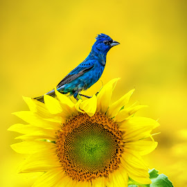 Indigo Bunting In the Sunflowers by Monica Hall - Animals Birds