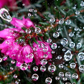 Drops in spiders web by Keld Helbig Hansen - Nature Up Close Natural Waterdrops