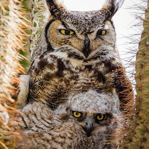 Great Horned Owl-36.jpg