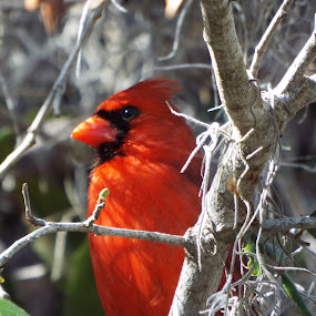 Red Cardinal  by Donna Probasco - Novices Only Wildlife (  )