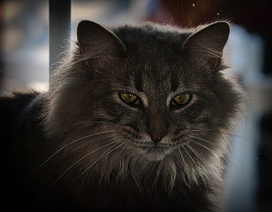 Taco by Jim Antonicello - Animals - Cats Portraits