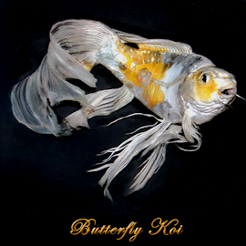Butterfly Koi by Janna Morrison - Typography Captioned Photos