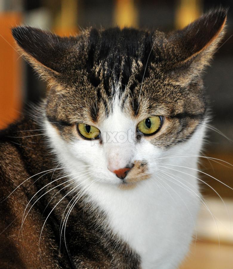 by Heidi Emanouel  - Animals - Cats Portraits
