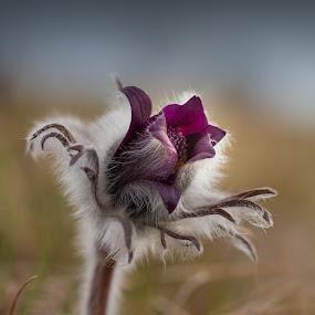 Pulsatilla Vulgaris by Gregor Grega - Flowers Single Flower ( wild flower, protected, nature, pulsatilla vulgaris, beauty,  )