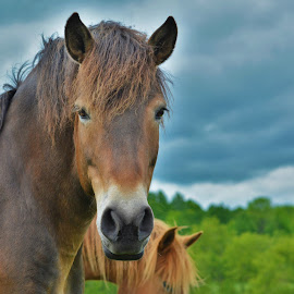 A magnificent creature by Mario Monast - Animals Horses ( horse portrait, animals, nature, horses, portraits, natural )