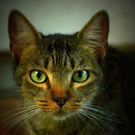 Tabilu by Rhonda Kay - Animals - Cats Portraits