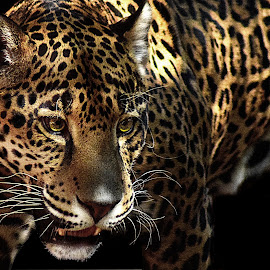 Jaguar by Shawn Thomas - Animals Lions, Tigers & Big Cats