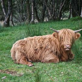 Highland Coo by Deborah McLeod McDonald - Animals Other