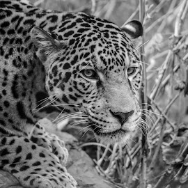 léopard by Patrick Robert - Black & White Animals ( léopard,  )