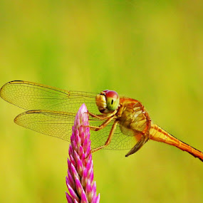 Dragonfly by Rudi Yanto - Animals Insects & Spiders ( insect, dragonfly )