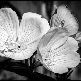 Prairie Sundrop by Dave Lipchen - Black & White Flowers & Plants ( prairie sundrop )