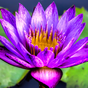 Lotus by Fotugraphar Quazi - Nature Up Close Flowers - 2011-2013 ( lotus, nature, lily, colorful, wallpaper, blue flower, water lily, leaves, closeup )