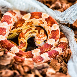 SSSir Newton by Lissette Giron - Animals Reptiles