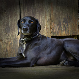 Nero by Bojan Kolman - Animals - Dogs Portraits (  )