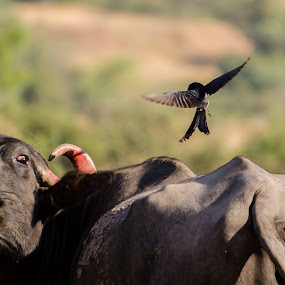 Courage knows no size by Mahesh Shenoy - Novices Only Wildlife ( buffalo, looks, symbiosis, fight, courage, drongo, bokeh, black )