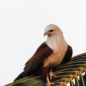 Brahminy Kite by Sandeep Das - Novices Only Wildlife ( bangalore, sandeep, india, kerala, brahminy kite )