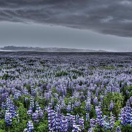 by Oddsteinn Björnsson - Landscapes Prairies, Meadows & Fields (  )