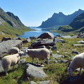 Lofoten, Norway by Zion Tay Zi Yong - Landscapes Mountains & Hills ( green, sheep, landscape, lofoten, norway )