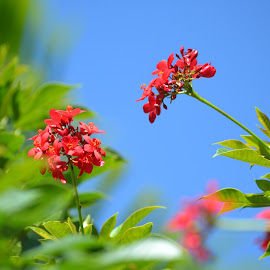 flowers in backyard by Ulises Rivero - Nature Up Close Gardens & Produce ( red, blue sky, nature, tropical, summer, flowers,  )