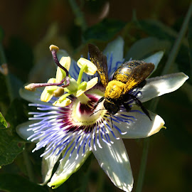 Carpenter Bee on Passion Flower by Tommy Fisher - Novices Only Flowers & Plants