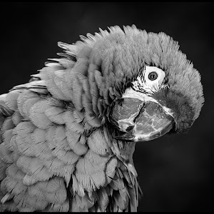 Macaw-22.jpg