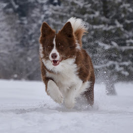 Uživanje na snegu by Bojan Kolman - Animals - Dogs Running