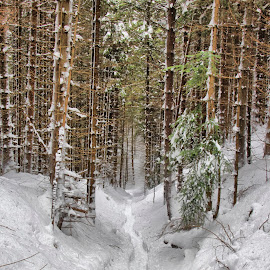 The road of life by Comsa Bogdan - Landscapes Forests ( mountain, way, road, travel, landscape, photography, tree, gorgeous, awesome, comsa bogdan, snow, path, wonderful, pathway, trekking, beautiful, canvas, forest, enjoy, photo, amazing, winter, frame, bucegi mountains, natural park, natural, romania prin obiectiv )