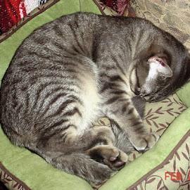 sweet kitty by Carol Boshears - Animals - Cats Portraits