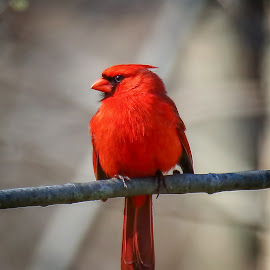 Northern Cardinal - male by Andrew Lawlor - Animals Birds