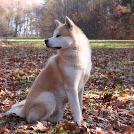Aki in Autumn colors by Ovidiu Gruescu - Animals - Dogs Portraits