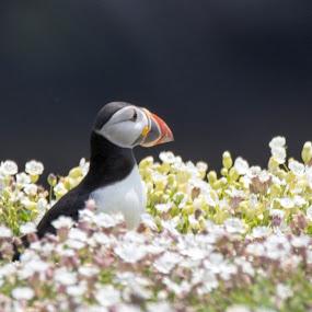 Skomer Puffin by Marcia Gain - Animals Birds